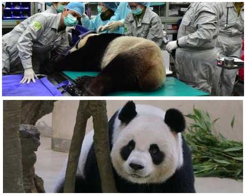 「圓圓」接受人工授精,「造熊貓」成敗預計7月初揭曉。