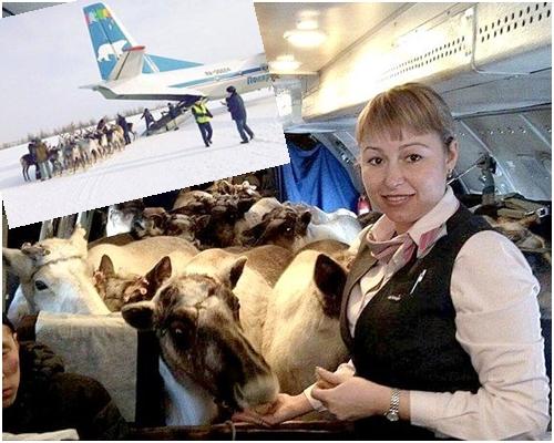 數十隻馴鹿擠在機艙內,由空姐親手餵食飛機餐。網圖