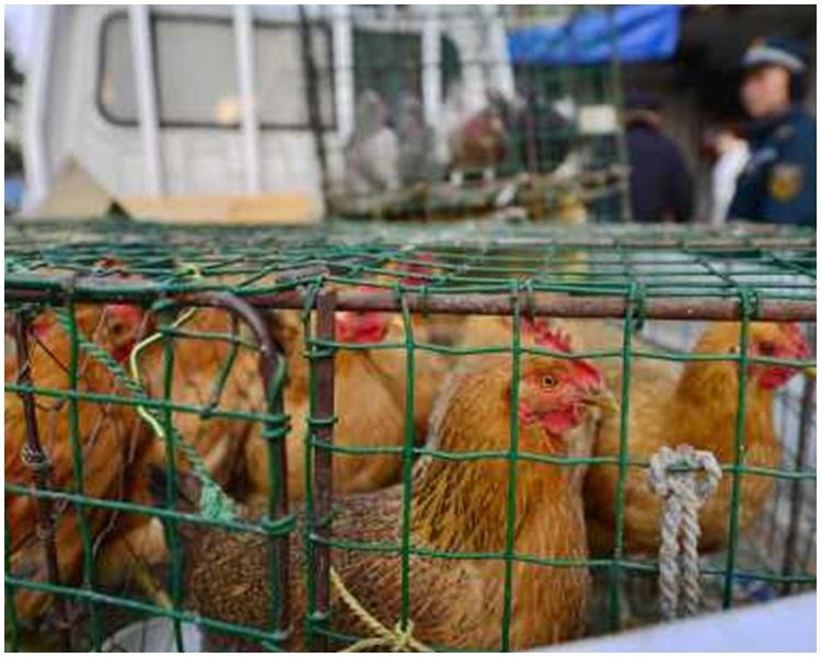 北京新增兩個H7N9個案。資料圖片