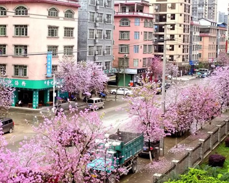 街道兩旁被染成一片粉紫紅色。網圖