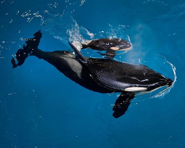 殺人鯨寶寶與母親Takara。AP