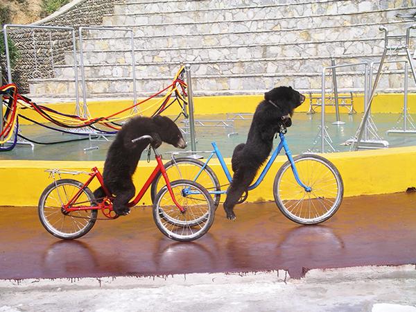 狗熊騎車為景區休閑娛樂項目之一。