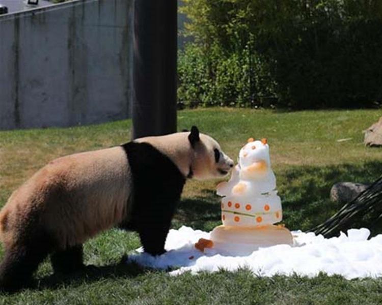 動物園送雪糕蛋糕為大熊貓餞行。網上圖片