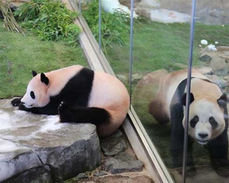 大熊貓明天將起程回國。網上圖片