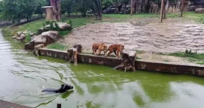 驢子被丟到老虎池。網上圖片
