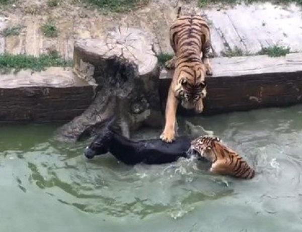 驢子被老虎咬死。網上圖片