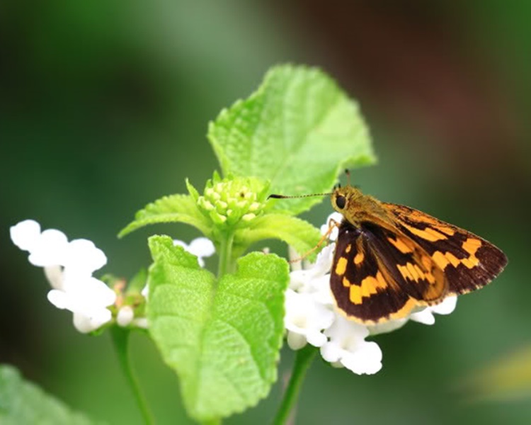 寬紋黃室弄蝶。WilsonS圖片