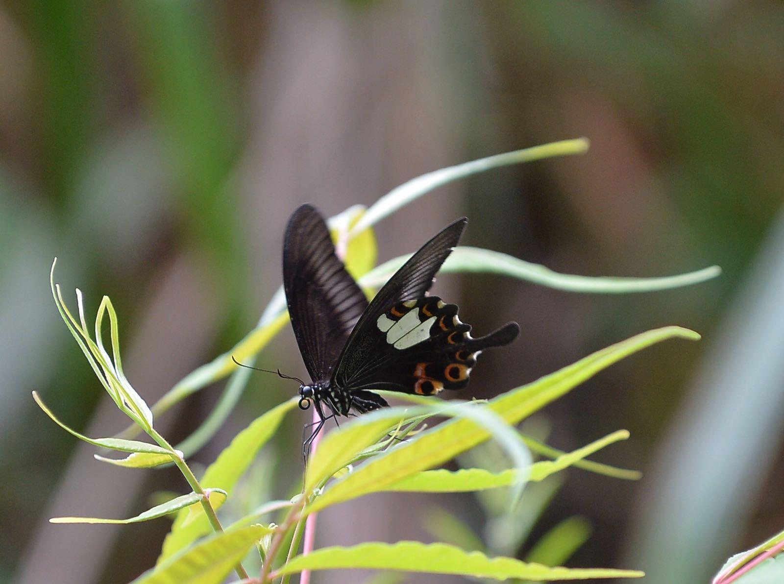 玉斑鳳蝶。
