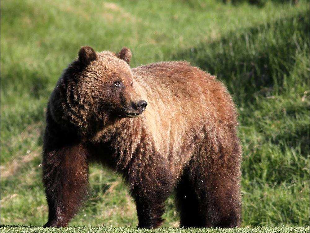 灰熊148 一直住在班芙國家公園 。網上圖片