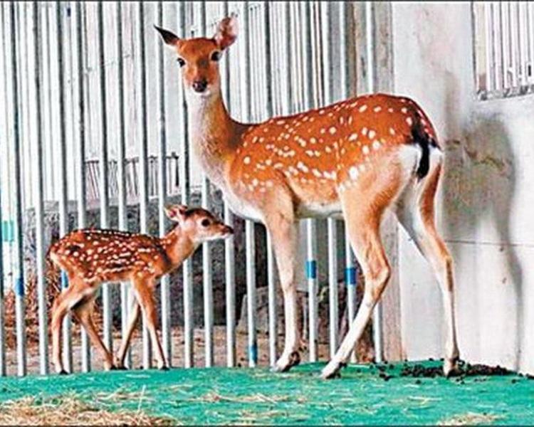 「點點」到大陸後每年都產下鹿寶寶。