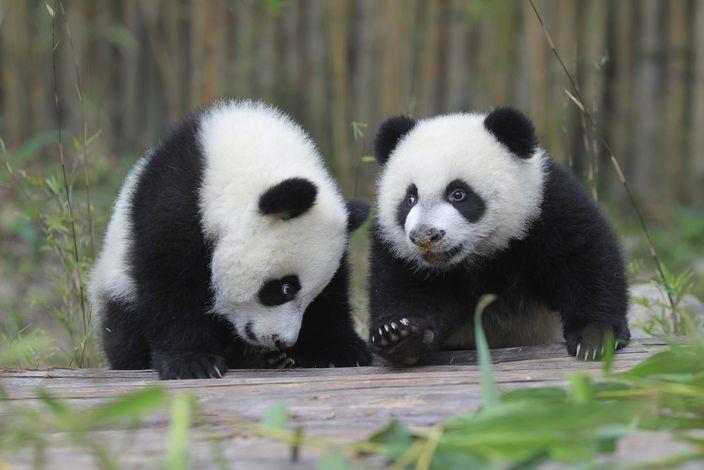 真熊貓BB。網圖