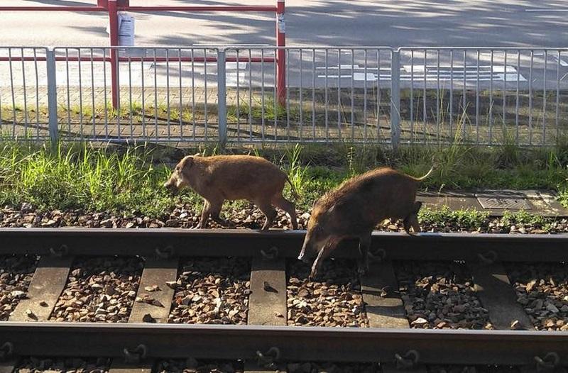 兩隻野豬闖入輕鐵泥圍站路軌。