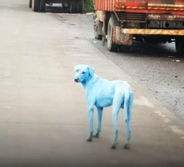 動物保護組織指,已遇過5隻這樣的「藍色狗」。