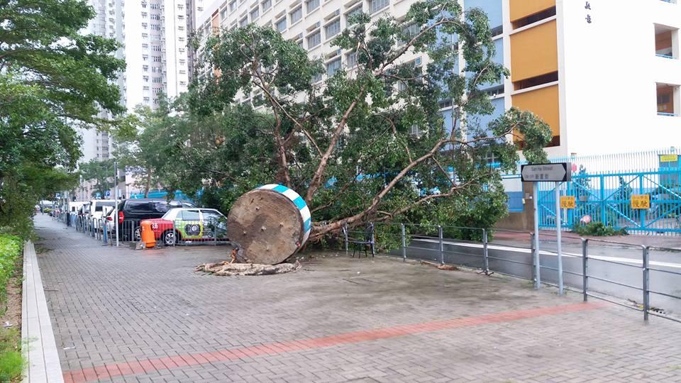 柴灣大榕樹倒塌露鋼筋。網上圖片