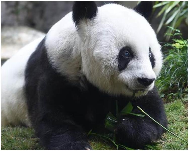 大熊貓「巴斯」。
