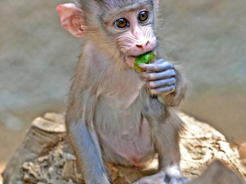 该对山魈猴宝宝分别是雌性和雄性。