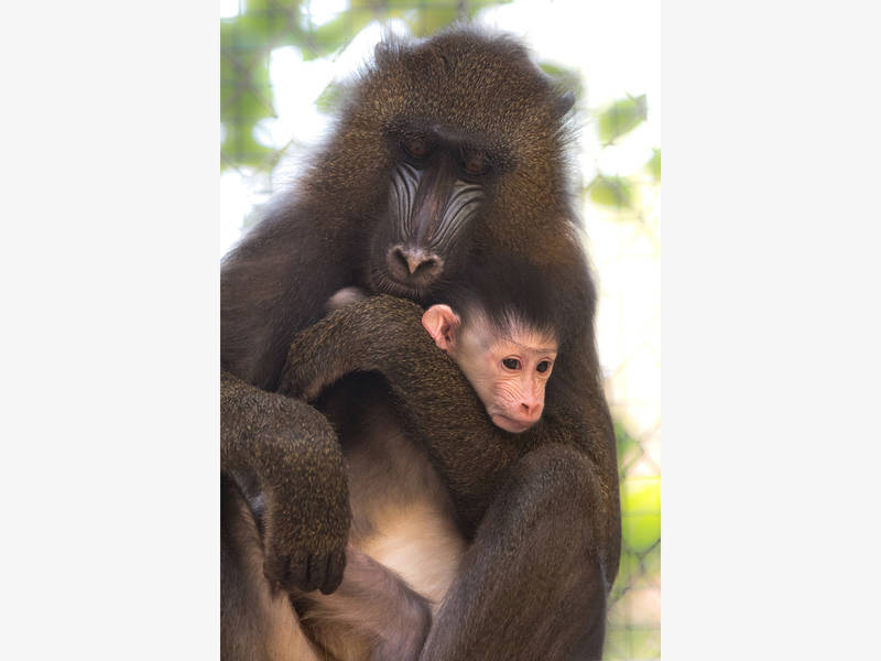 妈妈紧抱小山魈。