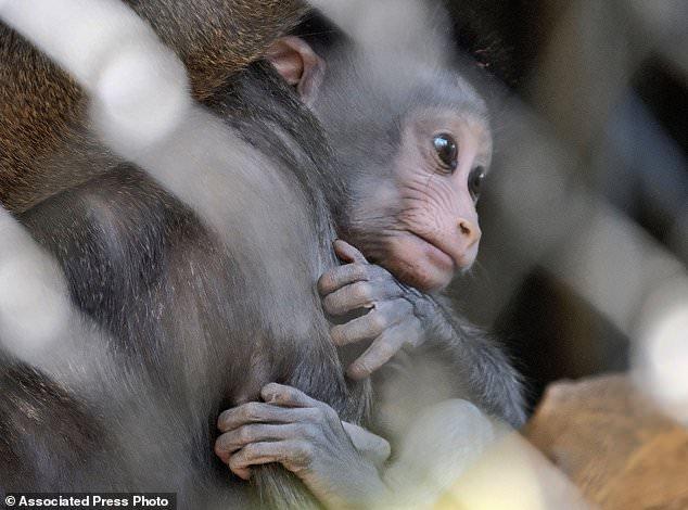 小山魈在妈妈怀抱里。