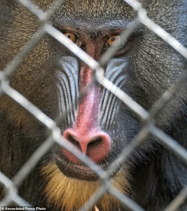 山魈是世界上最大型的猴子品种,以颜色鲜艳的红蓝口鼻及臀部见称。