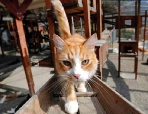 日本福岡一名代課老師,涉嫌以踩踏方式殺死20隻貓。 AP