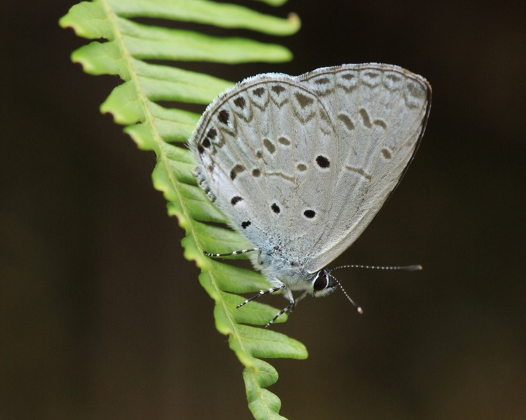 非常罕見薰衣琉璃灰蝶。圖:綠色力量