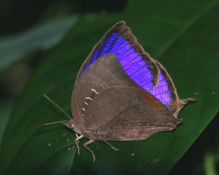 非常罕見銀鏈嬈灰蝶。圖:綠色力量
