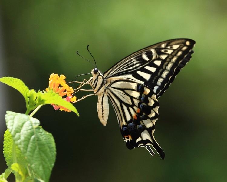 罕見柑橘鳳蝶。圖:綠色力量
