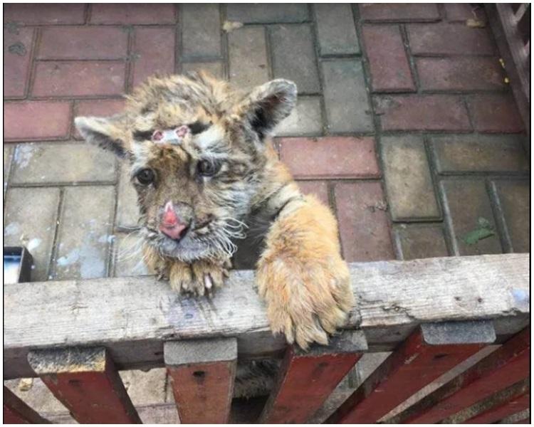 小虎額頭和鼻子受傷惹起「被虐待」疑雲。網上圖片