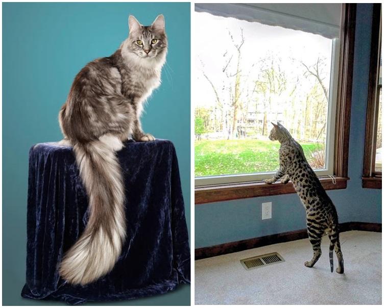 全球最高家貓Arcturus(右)及全球尾巴最長家貓Cygnus(左)。