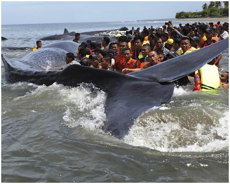 救援組織立即施以救援將抹香鯨推回大海。AP