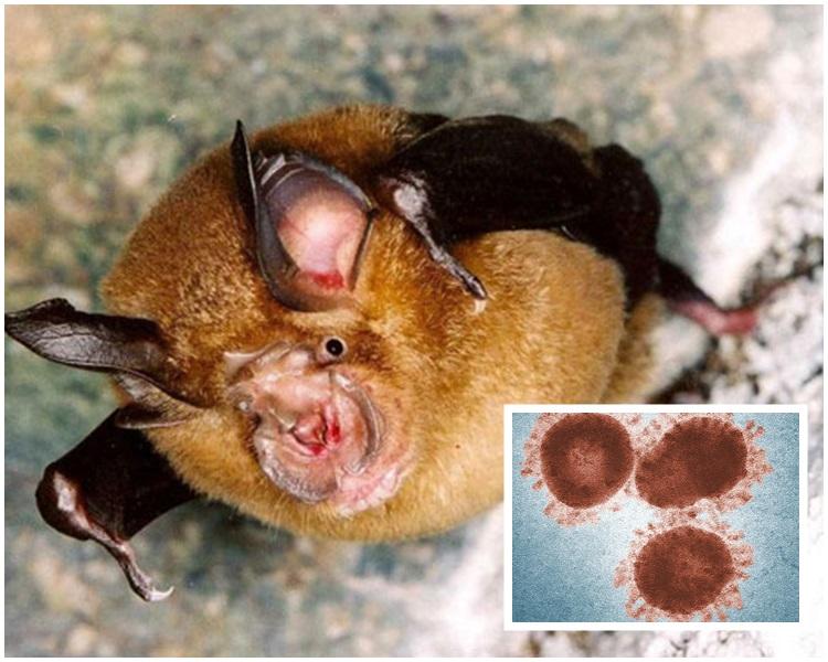蝙蝠的15株毒株包含構成人類的病毒的所有基因組。網圖