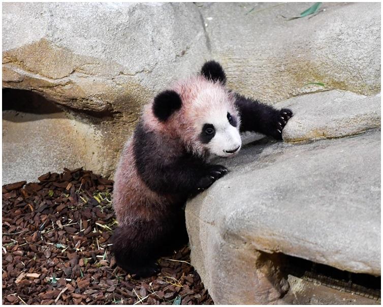 大熊貓 BB「圓夢」周六首度公開亮相。 AP