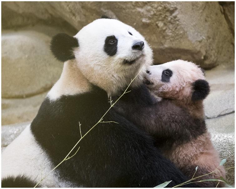 「圓夢」與母親「歡歡」玩耍。 AP