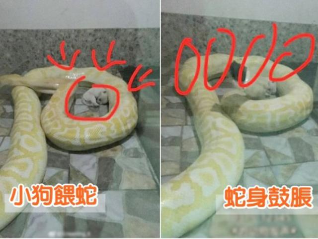 一隻剛出生不久的小唐狗蜷縮著,慢慢被大蟒蛇「包圍」。  網上圖片。
