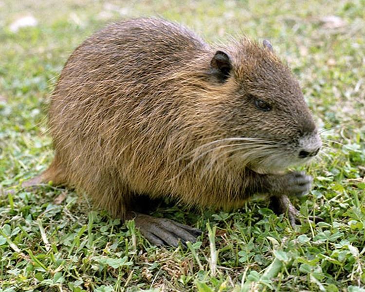 巨鼠屬南美海狸鼠品種。網圖