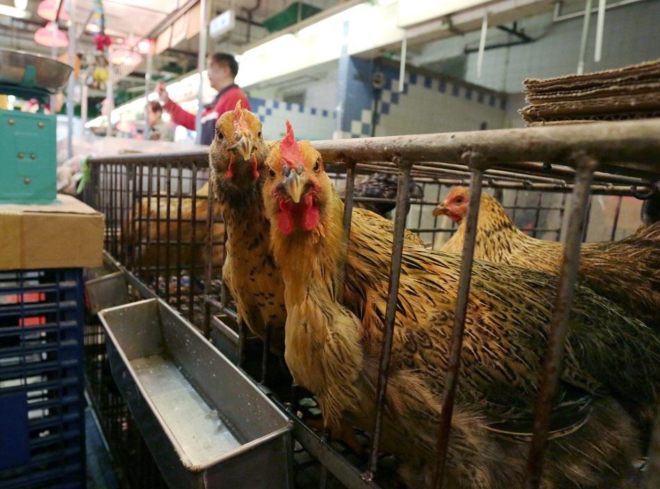 中國確診全球首宗人類感染H7N4甲型禽流感。資料圖片