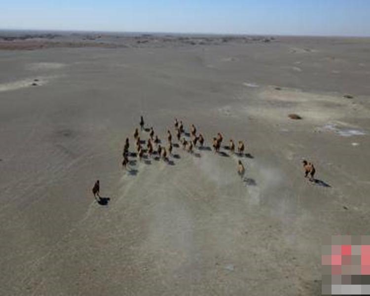 31峰的野駱駝大種群。網圖