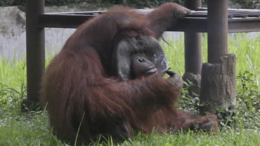 印尼動物園猩猩吸遊客二手煙頭 。AP圖片