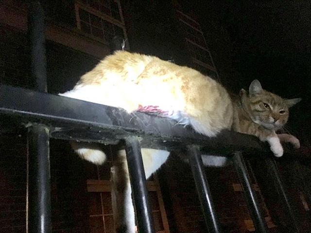 愛護動物協會人員及消防員先後趕到現場,將貓救出。 網圖