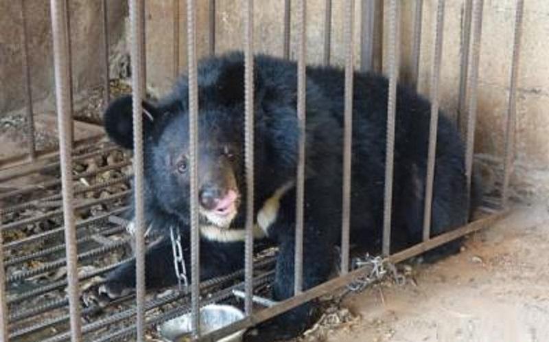 雲南村民誤將黑熊當狗養3年。網上圖片
