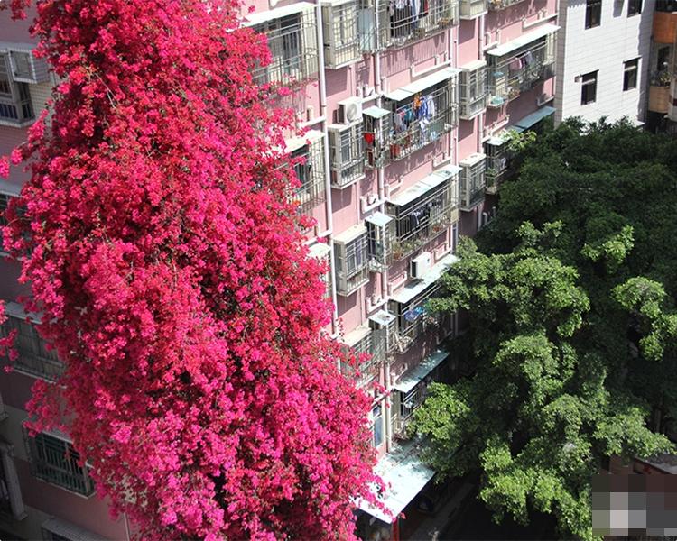 深圳8旬老婦15年前,入新屋時種下一棵小小的勒杜鵑。人民網圖片