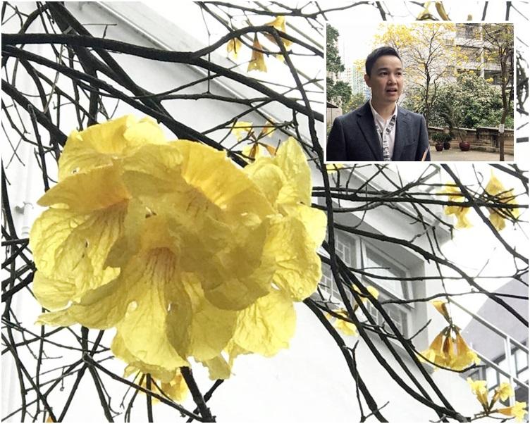 鄧立明(小圖)指黃花風鈴木花期短暫,最多只有一至兩星期。