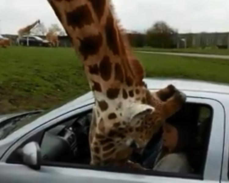長頸鹿向車內遊客討食物。網圖