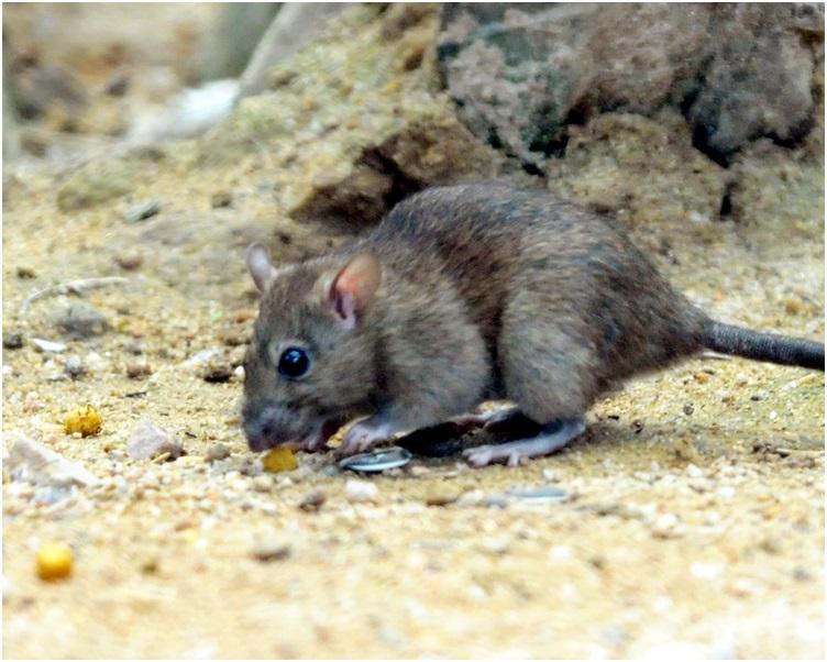 當局呼籲針對老鼠的「食」、「住」、「行」3個方面,去杜絕鼠患。