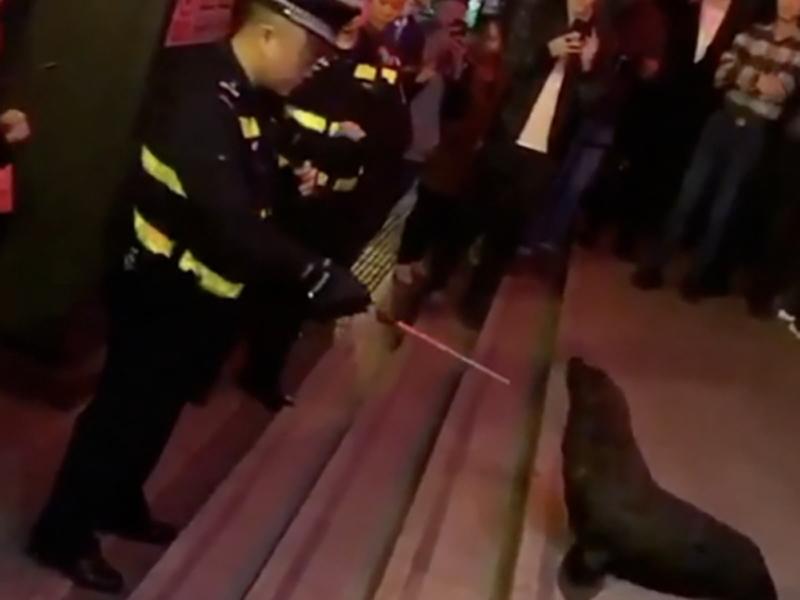 四川綿陽海獅「越獄」後上街「逛街」,所幸未傷及行人,海獅亦未有受傷。(網圖)