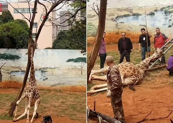 長頸鹿「海榮」日前在樹旁搔癢時,不慎將頭卡在樹杈上,最後因腦部缺氧亡。