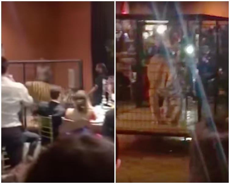 老虎在狹小的鐵籠中來回走動。網圖