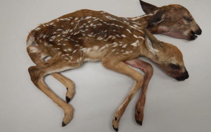 美國明尼蘇達州出現連體雙頭鹿。