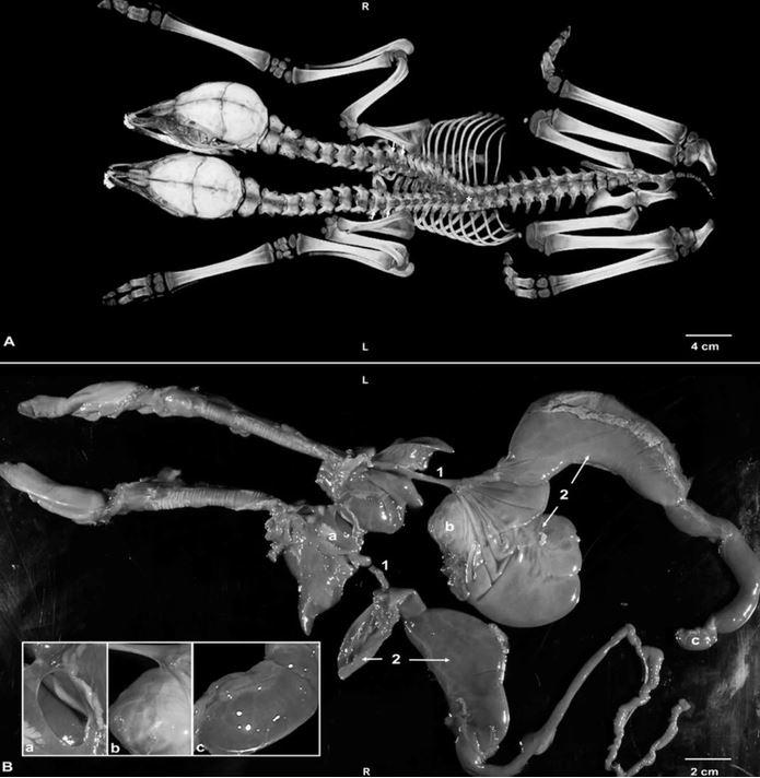 研究人員解剖後發現,小鹿擁有兩個獨立的頭和頸部,脊椎部分接合。