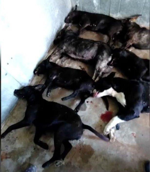 事件中警方射殺了其中1隻狗,其餘6隻狗全部被實施了安樂死。(網圖)